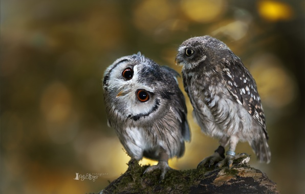 Picture birds, owl, two, branch, owls
