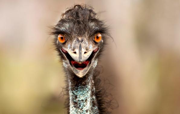 Picture look, beak, ostrich