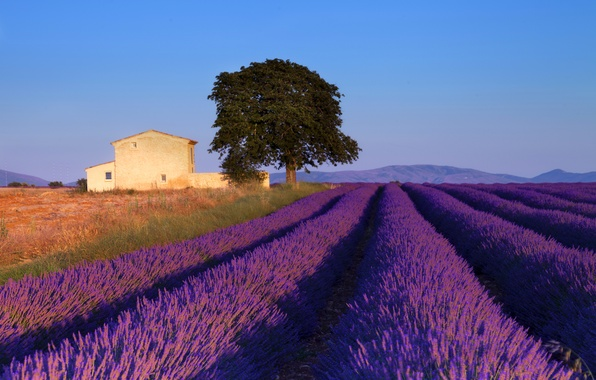 Picture field, the sky, tree, blue, France, house, lavender