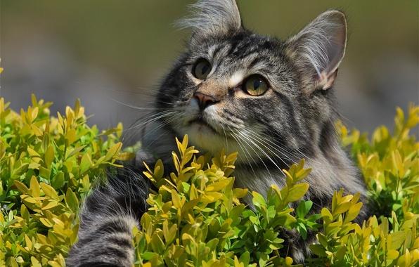Picture cat, look, muzzle, foot, Norwegian forest cat
