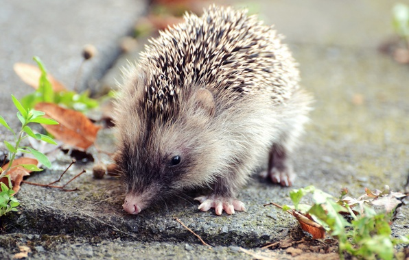 Picture autumn, leaves, animal, hedgehog