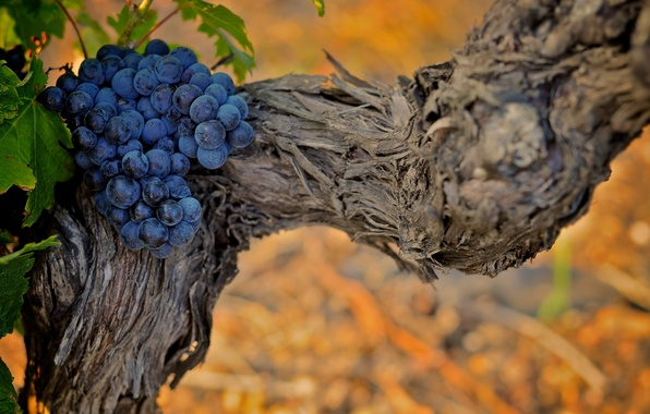 Picture leaves, nature, background, Wallpaper, plants, grapes, vine