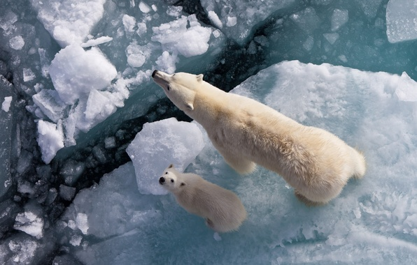 Picture bears, white, North