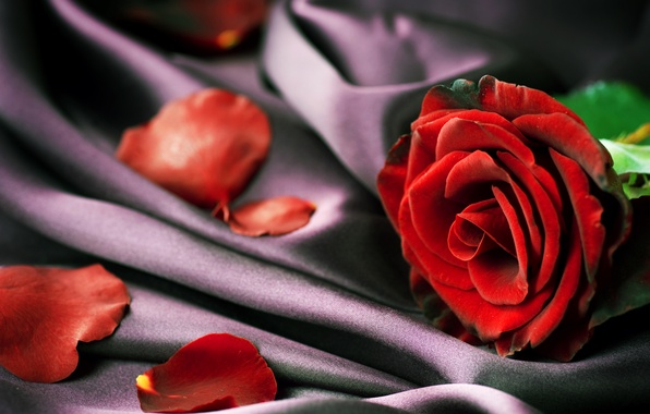 Photo wallpaper rose, petals, fabric, red, closeup