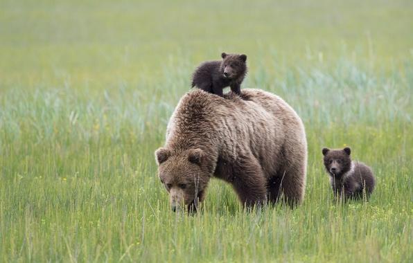 Picture bears, Alaska, meadow, Alaska, bears, bear, motherhood, Lake Clark National Park