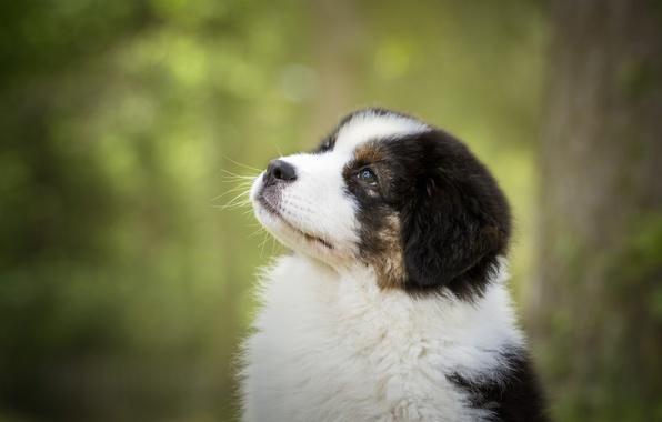 Picture portrait, dog, muzzle, puppy, bokeh