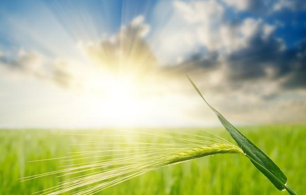 Picture field, light, ear, rye, cloud