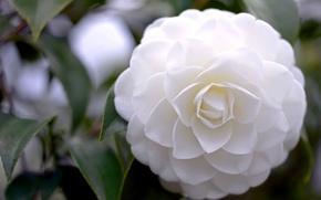 Wallpaper flower, petals, white, Camellia