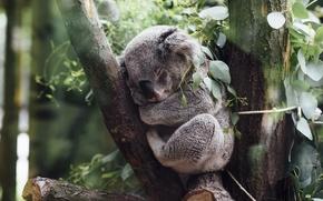 Picture bear, Australian, native, mammal, can, much, How, cuddly, a, Koala