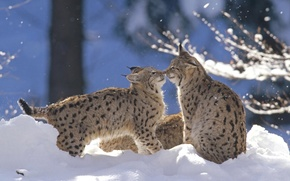 Wallpaper winter, forest, snow, the game, lynx, cubs