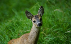 Picture grass, puppy, nature, animal, ears, Deer, muzzle