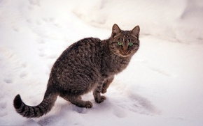 Picture cat, snow, nature, winter, striped, green, eyes, cat