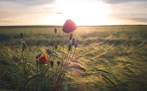 Picture Maki, morning, field