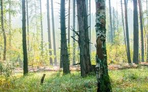 Picture shadows, Wallpaper, grass, wood, the sun, ligth, forest, light, forest, fog, sun, trees, shadows, fog, ...