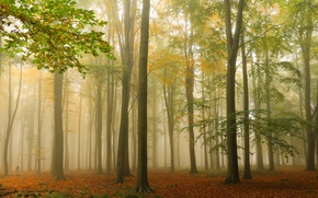 Picture autumn, forest, trees, fog, England, England, Ashridge Wood, Forest Ashridge, Berkshire, Berkshire