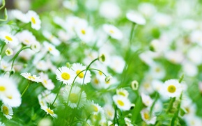 Picture greens, white, flowers, yellow, background, widescreen, Wallpaper, chamomile, blur, Daisy, wallpaper, flowers, widescreen, background, full …