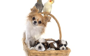 Picture basket, puppies, parrot, Chihuahua, Dogs, Parrots