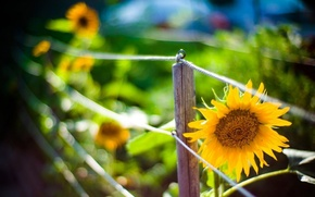 Picture sunflowers, fence, blur, bokeh