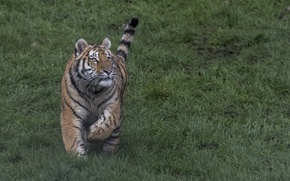Picture grass, look, tiger, tail, runs