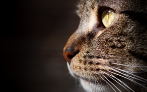 Picture cat, portrait, macro, muzzle, background, profile, cat