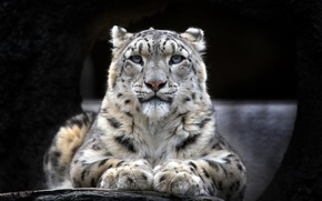 Wallpaper look, Wallpaper, IRBIS, snow leopard