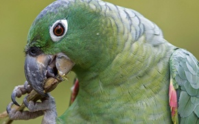 Picture birds, green, parrot