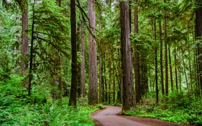 Picture road, forest, trees, winding dirt road through a Redwood forest