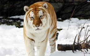 Wallpaper Powerful, Perfect Killing Machine, Tiger