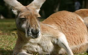 Picture animals, fluffy, kangaroo, styling