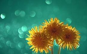 Picture macro, light, dandelion, petals, bltk