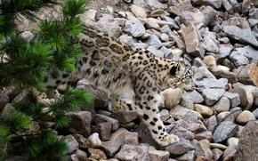 Picture cat, stones, IRBIS, snow leopard, pine