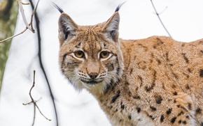 Picture cat, face, portrait, lynx, big cat