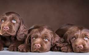Picture puppies, trio, chocolate, Spaniel