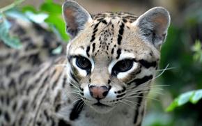 Picture look, predator, wild cat, Ocelot