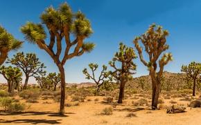 Picture sand, desert, dunes, USA, Joshua Tree, shrub, Joshua Tree National Park, Joshua Tree