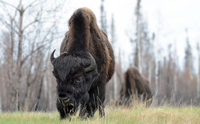 Picture nature, background, Buffalo