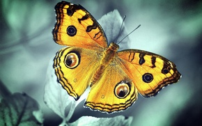 Picture leaves, butterfly, plant, orange