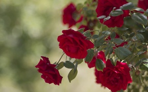 Picture leaves, roses, buds, rose Bush