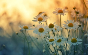 Picture summer, chamomile, petals