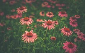 Wallpaper flowers, petals, buds, field of flowers, leaves