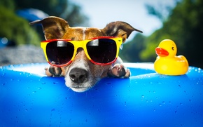 Picture face, dog, duck, sunglasses
