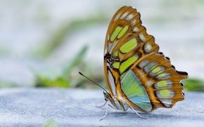 Wallpaper blur, antennae, wings, butterfly