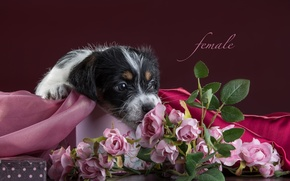 Picture flowers, roses, puppy, fabric, Jack Russell Terrier
