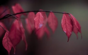 Picture leaves, branch, blur, red, autumn