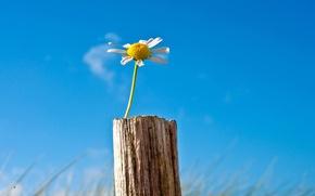 Picture flower, the sky, flowers, background, widescreen, Wallpaper, blue, Daisy, wallpaper, flower, sky, widescreen, background, full …
