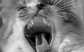 Picture language, cat, mustache, black and white, teeth, fangs