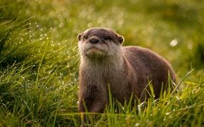 Picture grass, look, droplets, Rosa, glare, muzzle, Otter
