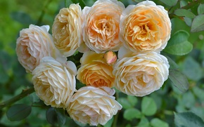 Picture roses, buds, yellow roses