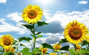 Picture flowers, nature, summer, the sun, the sky, sunflowers, clouds