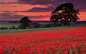 Picture flowers, clouds, trees, field, Maki, hills, the sky, grass